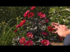 How to Grow Dahlias | At Home With P. Allen Smith