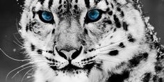 Funny pictures about Snow Leopard. Oh, and cool pics about Snow Leopard. Also, Snow Leopard photos. Snow Leopard Wallpaper, Cats Wallpaper, Animal Wallpaper, White Wallpaper, Wallpaper Pictures, Iphone Wallpaper, Mobile Wallpaper, Wallpaper Gallery, Wallpaper Designs