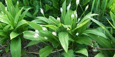 Medvehagyma (Allium ursinum) - Természet Patikája Egyesület