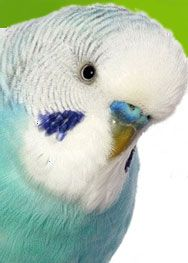 Lots of parakeet treat recipes.