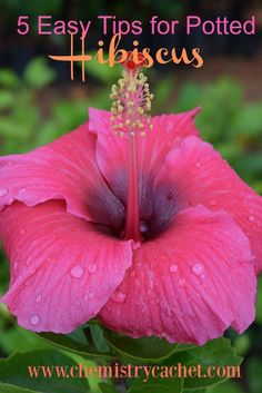 - Five Easy Tips on Potted Hibiscus If you have trouble growing hibiscus, look no further! These easy tips for potted hibiscus are great for anyone & will help you grow the prettiest hibiscus in your own backyard! Hibiscus Bush, Growing Hibiscus, Hibiscus Garden, Hibiscus Plant, Growing Roses, Hibiscus Flowers, Diy Flowers, Flower Pots, Hawaiian Flowers