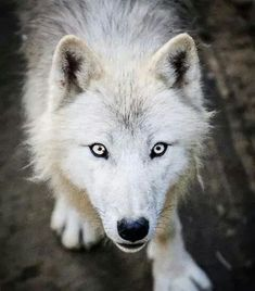 Twinkle is a beautiful, fluffy white and tan she-wolf with silver eyes. She is cared for by many, male wolves have crushes on her, but she doesn't know that. She is Blackberry's and Rain's pup