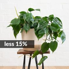 PLANT FOCUS: Celebrate the Heart-Leaf Philodendron with us by taking 15% off! This plant is a gorgeous cascading beauty and we LOVE it for it's ease of care and forgiving nature. Check out today's newsletter (link in bio) to learn a little more about this great plant :) . Special valid in-store and on-line. .   -------------------------------- #plantify #urbanplantery #letlifein #plantspiration #plantgang #indoorplantclub #plantporn #urbanjungle #urbanjunglebloggers #capetownliving… Our Love, Indoor Plants, Planters, Leaves, Store, Celebrities, Heart, Link, Check