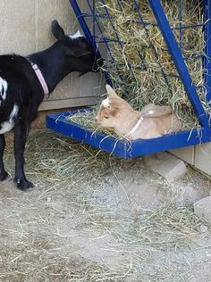 Goat House, Nigerian Dwarf Goats, Little Ones, Sheep, Dogs, Animals, Animaux, Doggies, Animal