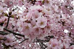 How Al Capone Thanked the Hospital That Treated His Syphilis Cherry Blossom Season, Cherry Blossom Tree, Blossom Trees, Balloons And More, Giant Balloons, Chicago Outfit, Jefferson Memorial, Al Capone, Japanese Streets