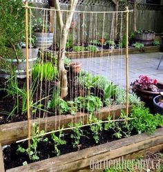 For plants that like to climb, like the peas seen here, a trellis made of bamboo and twine is helpful — and pretty!