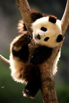 I want a panda