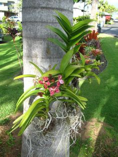 Orchids on a palm tree.