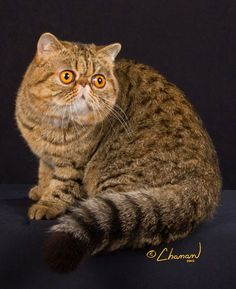 Exotic Shorthair. - I have become obsessed with these cats! I love cats but don't want one, I would get this cat!!!!