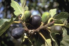 The fruit of a fig tree ripens in Israel.