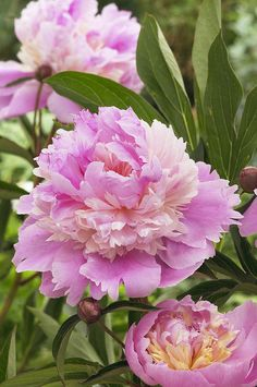 Peony Paeonia Sp Mme Emile Debatene Print by VisionsPictures.