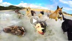 Dog Beach Party With Swimming Cat  ---  I can see why this video went from zero to over 4 million views within a week--it's fun, fun fun, gots lots of happy dogs, killer song and done up in a high quality production. And the bonus of also having a crazy cat who happily goes swimming in the ocean with the canine party animals. The happy dogs are having a great time with their day at the beach, frolicking and digging in the sand and splashing crazily in the surf. The swimming cat goes by the…