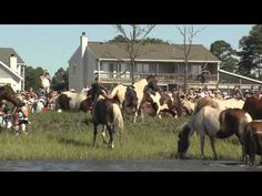 Found this amazing pin from a horse lover.. it a video of the Annual Chincoteague Pony Swim from 2012.  It takes a few minutes to load so be patient as it worth it.. These amazing horses are wild and untamed and so very beautiful.. They are rounded up each year and cross the Chincoteaque River to be auctioned off to farmer, some for breeding, or just to the average horse lover.. That would be me..