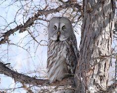 Oriental Bird Club Image Database : Great Grey Owl » Strix nebulosa