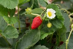 Soi de capsuni remontanti - recolta din iulie pana toamna tarziu Vegetable Garden, Strawberry, Organic, Fruit, Vegetables, Sun, Plant, Vegetables Garden, Strawberry Fruit