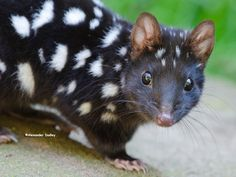 A pet marsupial would be quoll-tastic, but in Australia the cat is already out of the bag Unusual Animals, Rare Animals, Animals Beautiful, Animals And Pets, Funny Animals, Strange Animals, Small Animals, Wild Animals, Australian Animals