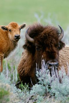 American bison and calf, Yellowstone National Park, Wyoming