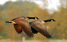 Canadian Geese by Bill Houghton