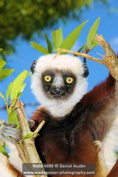 Coquerel's sifaka (Propithecus coquereli), Makira Natural Park (Lemurs Park), west of Antananarivo, Madagascar | David Austin, Madagascar Photography