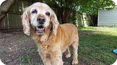 6/28/17 Bedminster, NJ - Cocker Spaniel/Golden Retriever Mix. Meet Saege a Dog for Adoption.