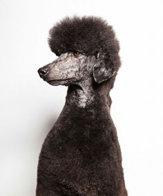 Poodle by Paul Nathan
