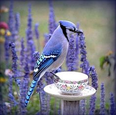 """""""Blue"""" Jay - there is definitely lavender/periwinkle/lilac in this creature. no wonder I think they are so beautiful Pretty Birds, Love Birds, Beautiful Birds, Animals Beautiful, Cute Animals, Birds 2, Blue Jay, Jay Azul, Mundo Animal"""