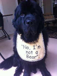 """""""No, I'm not a Bear!"""" - I would be SO rich if I had a $1 every time I was asked this question."""