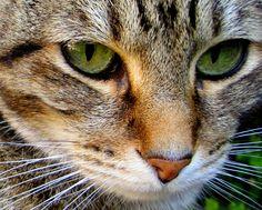 Animal Photography  Cat eyes Fine Art by JudithKimberPhoto on Etsy, $35.00