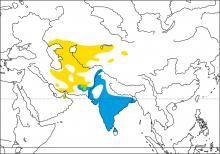 Sykes's Warbler (Hippolais rama)