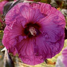Plum Crazy Hardy Hibiscus | Hibiscus | Perennial Plants | Jung Garden and Flower Seed Company