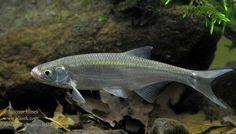 f. Cyprinidae Alburnus alburnus