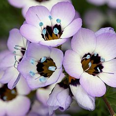 Gilia tricolor (photo courtesy of Annie's Annuals & Perennials)