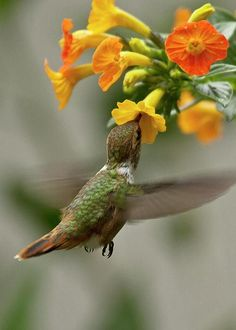 Double Hollyhock ~ Alcea rosea Source Clematis integrifolia Source Hummingbird by Heiko Koehrer-Wagner Source ...