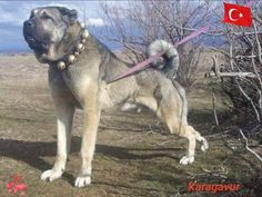Kangal Giant Dogs, Big Dogs, Dogs And Puppies, Kangal Dog, Rare Dogs, Tibetan Mastiff, Bullmastiff, Large Dog Breeds, Cane Corso