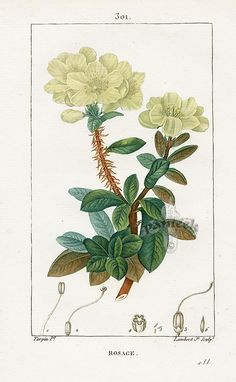 Rhododendron Chrysanthemum. Turpin Pierre Chaumeton Flore Medicale Prints, 1814