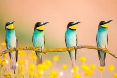 Quartet of bee-eaters Photo by Enrique del Campo — National Geographic Your Shot