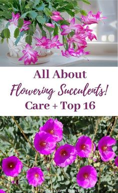 "If you love flowers, succulent plants are a great choice! Learn ALL about flowering succulents, how to care for them, ""death blooms"" and more!   see my Top 16 Flowering Succulents - not a death bloom on the list! Some are cold hardy succulents, others are succulent ground covers. Pin now, read later!  :)  #floweringsucculents #succulentblooms #succulentcare Pink Succulent, Succulent Soil, Flowering Succulents, Hanging Succulents, Amazing Flowers, Love Flowers, Flower Gardening, Planting Flowers, Succulent Ground Cover"