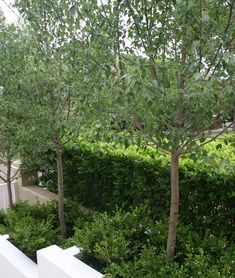 Pyrus nivalis (Snow Pear) - x can be pleached and pruned to form formal avenue; can be selectively pruned to be smaller