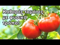 Τομάτα: Καταπολεμήστε την κάμπια (Tuta Absoluta) - YouTube Vegetables, Flowers, Food, Gardening, Youtube, Tomatoes, Essen, Lawn And Garden, Vegetable Recipes