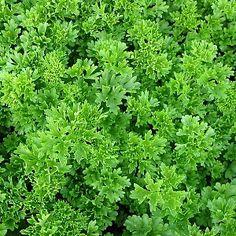 Petroselinum crispum: Peterselie  Versnipperde takjes en blaadjes versieren salades, groenten, omeletten, mosselen, boter, soepen,... Slechts op het einde van de bereiding toevoegen. Invriezen om te bewaren.