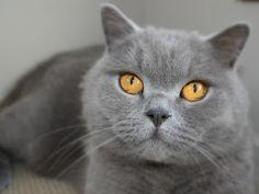 My Bob - a blue British shorthair