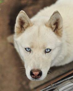 I see you..., big blue eyes husky love Lana :bsz)