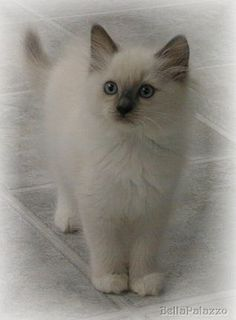 A Ragdoll kitten ...want for my birthday!  :)