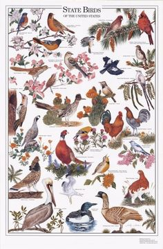State Birds of the U.S. - Identification Chart | Bird Identification Charts