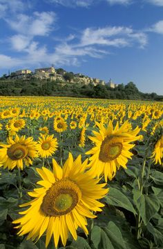 Sunflowers in Lot Valley, France | David Noton Photography