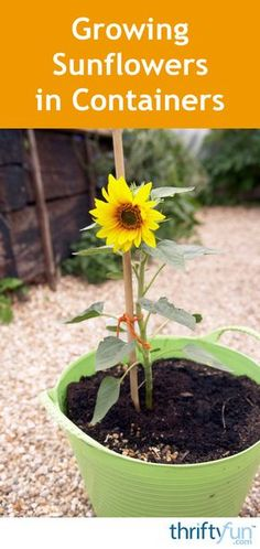This guide is about growing sunflowers in containers. Sunflowers are a wonderful addition to any garden space for their beautiful colors and visiting birds.