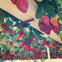 Strawberry lattice...save room, make beauty, easy picking...especially when you're tall :)