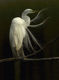 fairy-wren:    great egret  (photo by steve patterson)