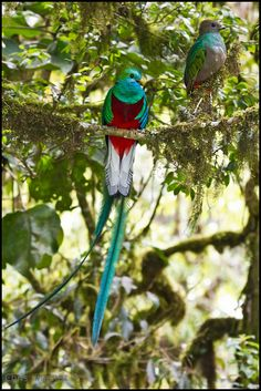 Resplendent Quetzal (Pharomachrus mocinno) Chris Jimenez Bird and Nature Photography Kinds Of Birds, All Birds, Love Birds, Most Beautiful Birds, Pretty Birds, Exotic Birds, Colorful Birds, Quetzal Tattoo, Animals And Pets