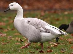 Leucistic Canadian Goose